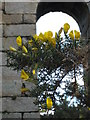 SW7541 : European Gorse (Ulex europaeus L.) at Wheal Clifford by Rod Allday