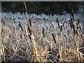 SJ6470 : Bulrushes in marsh beside the River Weaver by Dr Duncan Pepper
