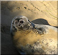 TG4723 : A juvenile grey seal (Halichoerus grypus) : Week 50