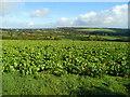 SX2484 : Beet crop at Laneast by Jonathan Billinger