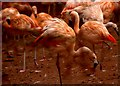 SX8759 : Flamingos at the entrance to zoo : Week 52