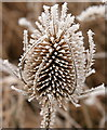 SU7241 : Frosted teazle : Week 2