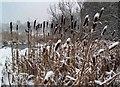 SE4204 : Bulrushes near Darfield bridge by Steve  Fareham
