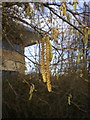 SD8804 : Catkins, Corylus (hazel) by Alexander P Kapp