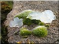 "NS3678 : A moss, with ""mystery jelly"" by Lairich Rig"