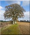 SU5727 : Oak Trees along footpath near Westfield Farm : Week 10