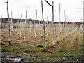 TQ6936 : Hop Field near Little Scotney Farm by Oast House Archive