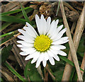 TG2737 : Common Daisy (Bellis perennis ) : Week 12