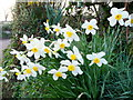 SX0659 : Narcissi at dawn 1 by Jonathan Billinger