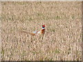 TM3671 : Pheasant in a Sibton stubble field by Adrian Cable