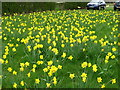 TL6857 : Daffodils at Kirtling Towers by Alan Hawkes