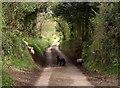 SX7986 : Lambs in the lane : Week 18