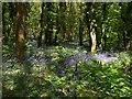 SW7343 : Bluebells in Unity Wood by Derek Harper