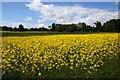 SU4789 : Field of rape at Rowstock by Steve Daniels