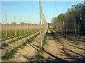 TQ8129 : Hop Garden, Hoad's Farm - April by Oast House Archive