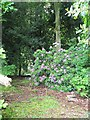 SE1238 : Rhododendron in the woods, Milner Field by Rich Tea
