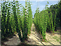TQ8129 : Hop Garden, Hoad's Farm - Summer Solstice by Oast House Archive