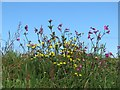 SW4134 : Wild flowers on Bosullow Common by Sarah Charlesworth