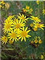 SU0624 : Ragwort and caterpillars, Croucheston by Miss Steel