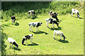 ST5966 : 2009 : Cattle on Maes Knoll by Maurice Pullin