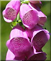 SW7325 : Foxglove flowers (Digitalis purpurea) by Rod Allday