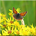 TM0389 : Small Copper Butterfly (Lycaena phlaeas) on ragwort by Evelyn Simak