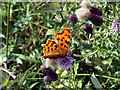 SE3007 : Comma butterfly on thistle by John Fielding