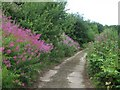 SP9214 : Rose Bay Willow Herb on the Quarry Road, College Lake by Chris Reynolds