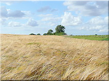 TL0962 : Barley in the breeze by Jonathan Billinger