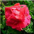 SO6424 : Flowers in the rain 1 by Jonathan Billinger