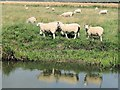 SP8514 : Reflective sheep near Canal Bridge No 13 by Chris Reynolds