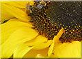 SO6424 : Honey bees on sunflower : Week 34