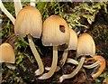 J4681 : Fungus, Crawfordsburn Glen (25) : Week 36