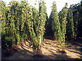 TQ8129 : Hop Garden, Hoad's Farm - September by Oast House Archive
