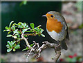 NH9184 : Robin in my garden. by sylvia duckworth