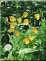 SJ6543 : Welsh poppies in a shady canal bank, Audlem by Roger  Kidd