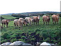 R1289 : Bullocks! by Eirian Evans