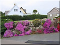 SV9010 : Mesembryanthemum on Church Road, St Mary's Scilly by John Rostron