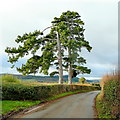 SO6424 : Bromsash Pines 2 by Jonathan Billinger