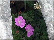 M1403 : Springtime plant study on The Burren's limestone plateau by Neil Theasby