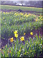 SW7828 : Daffodil field at Nansidwell : Week 4