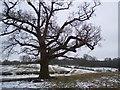 TQ8431 : Oak tree on High Weald Landscape Trail by David Anstiss