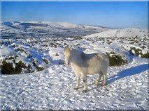SO2556 : Pony on Hergest Ridge by Trevor Rickard