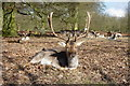 SJ7386 : A fallow deer stag dozing in the winter sun by pam fray