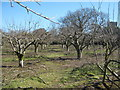 TQ8926 : High Weald Landscape Trail through an orchard near Wittersham by David Anstiss