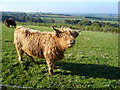 SJ5469 : Cow on Pale Heights by Anthony Parkes
