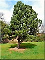 SJ9493 : Tree at Pole Bank Hall by Gerald England