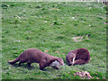 TQ3643 : Otters at British Wildlife Centre, Lingfield by Oast House Archive
