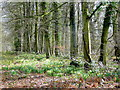 SO6828 : Dymock Wood in Spring by Jonathan Billinger