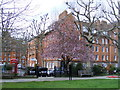 TQ2978 : Tree in blossom Millbank Gardens Westminster by PAUL FARMER